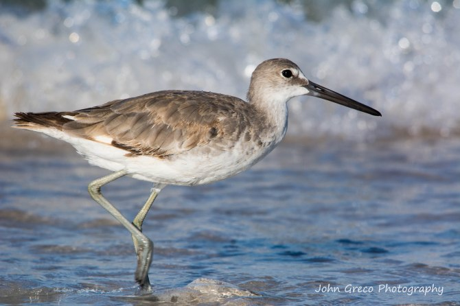 Willet - Honeymoon Island -DSC5952-1-CR