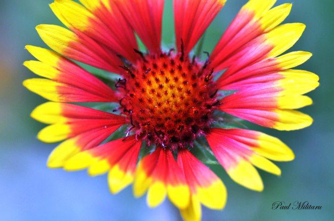 coloured echinaceea
