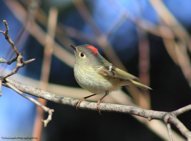 Ruby-crowned Kinglet 026