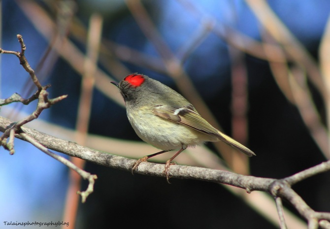Ruby-crowned Kinglet 027