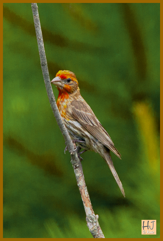 House Finch (Yellow)