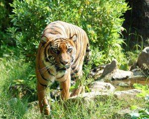 tiger-8057